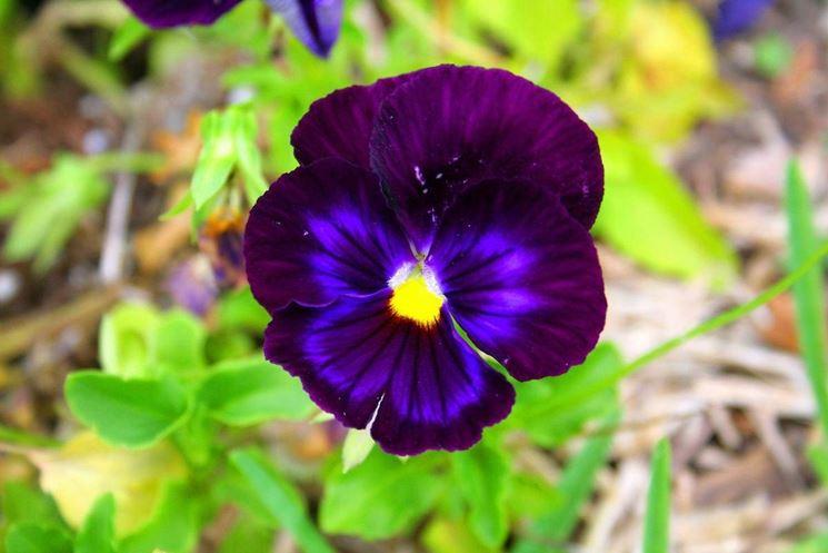 Particolare del fiore della viola