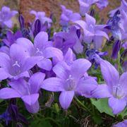 pianta viola