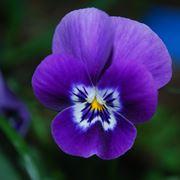 Un esemplare di fiore violetta