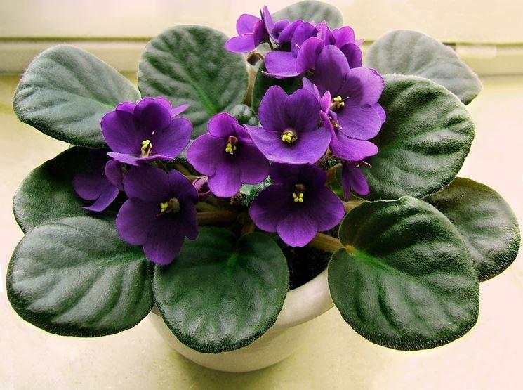 Una piantina di violetta coltivata in vaso