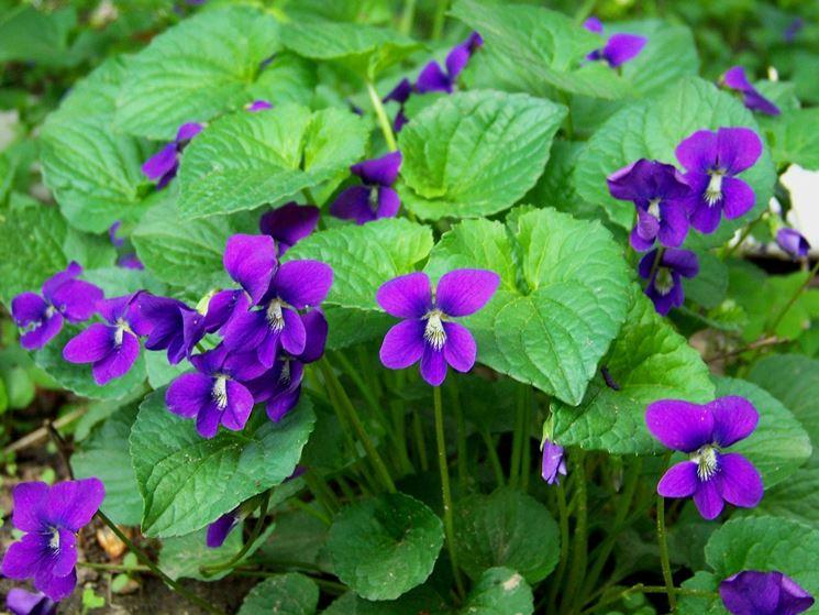 Esemplari di violette