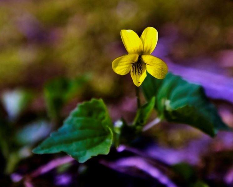 Un esemplare di violetta gialla che cresce solo in alcune zone del mondo
