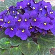 Violetta piante annuali violetta pianta for Violetta africana
