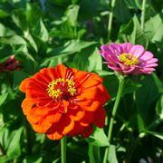 zinnia fiore