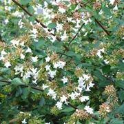 abelia e fiori