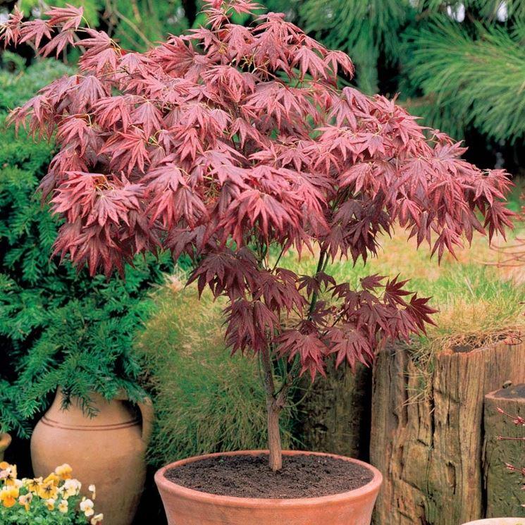 Acero giapponese prezzo piante da giardino prezzo dell for Acero giapponese in vaso