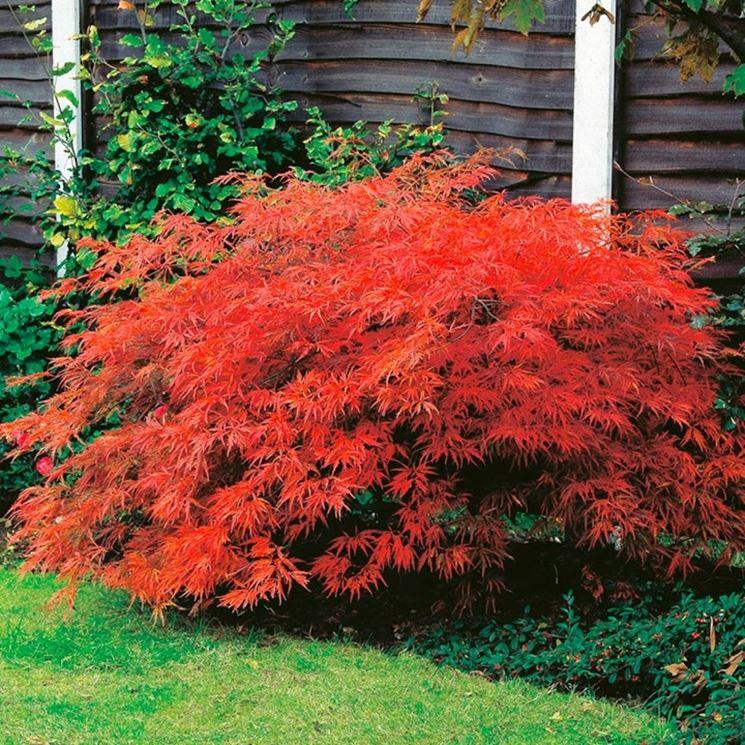 Acero giapponese prezzo piante da giardino prezzo dell for Acero rosso canadese prezzo