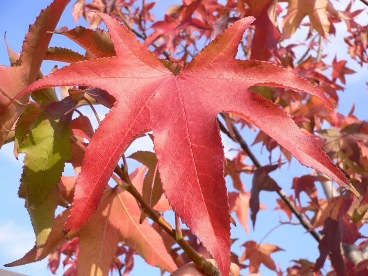 Acero pianta