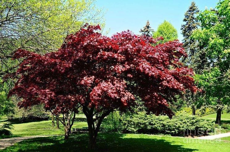 Acero rosso - Piante da giardino - Caratteristiche dellacero rosso