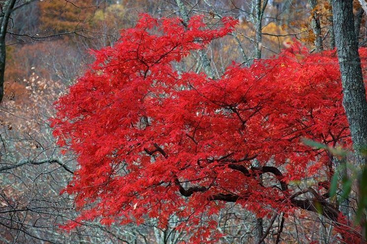pianta di acero rosso