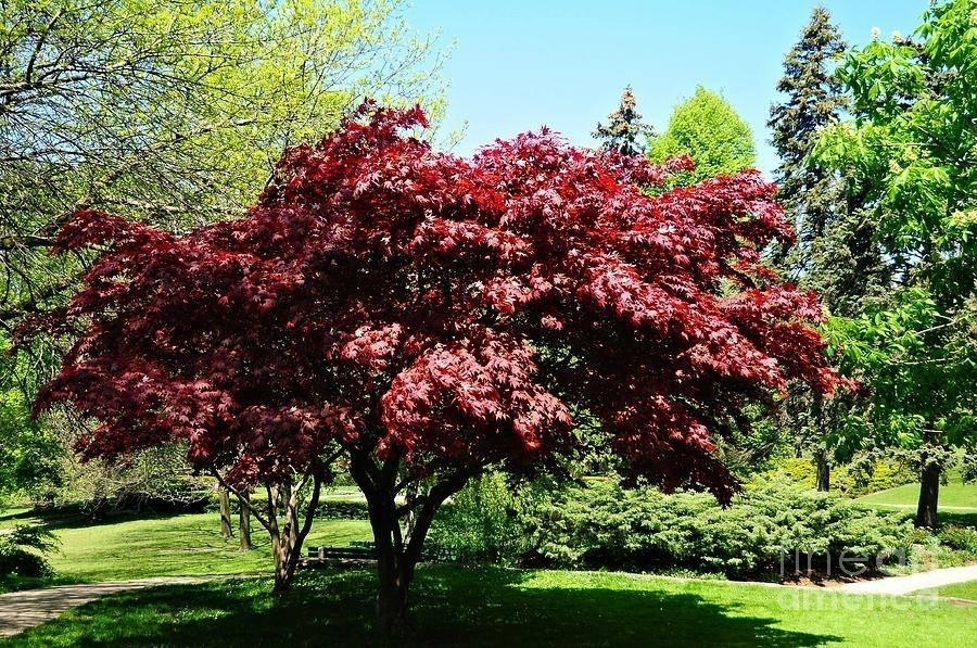 Acero rosso piante da giardino for Pianta pistacchio prezzo