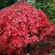 bonsai acero rosso prezzo