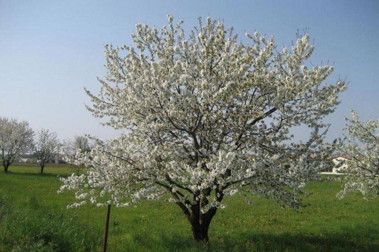 Alberi a foglie caduche piante da giardino alberi a - Alberi frutto giardino ...