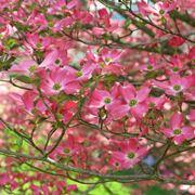 Albero in fiore di Ippocastano