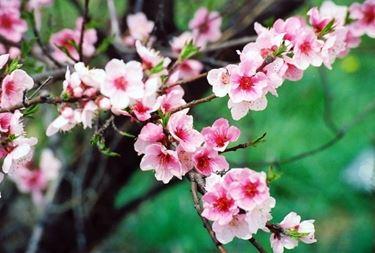 Albero di Cercis in fiore