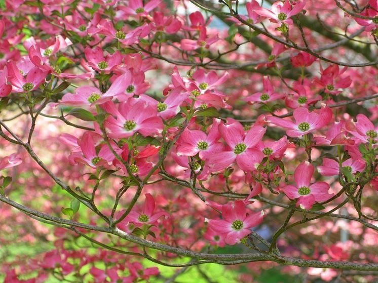 Alberi da fiore piante da giardino alberi da fiore giardino - Piante da giardino profumate ...
