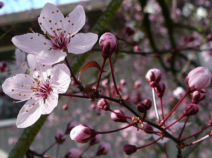 Albero in fiore di Paulownia