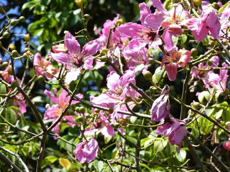 Fiori dell'albero di Chorisia