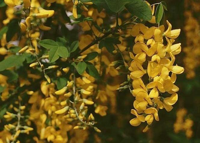 Alberi in fiore piante da giardino alberi in fiore for Fiori per balconi soleggiati