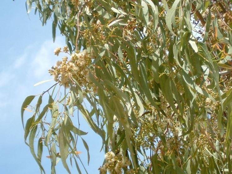 Foglie e infiorescenze dell'albero di Eucalipto