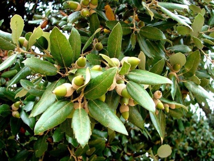Alberi sempreverdi da giardino piante da giardino come for Le piante sempreverdi