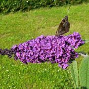Infiorescenza dell'Albero delle farfalle