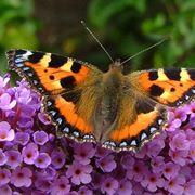 albero delle farfalle