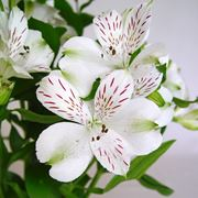 Alstroemeria fiori