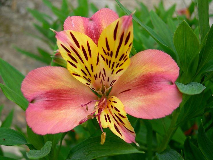 Giglio fioritura