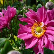 Fiori di <strong>anemone</strong> giapponese