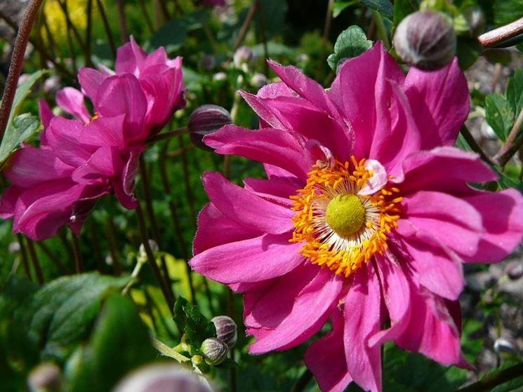 Fiori di anemone giapponese