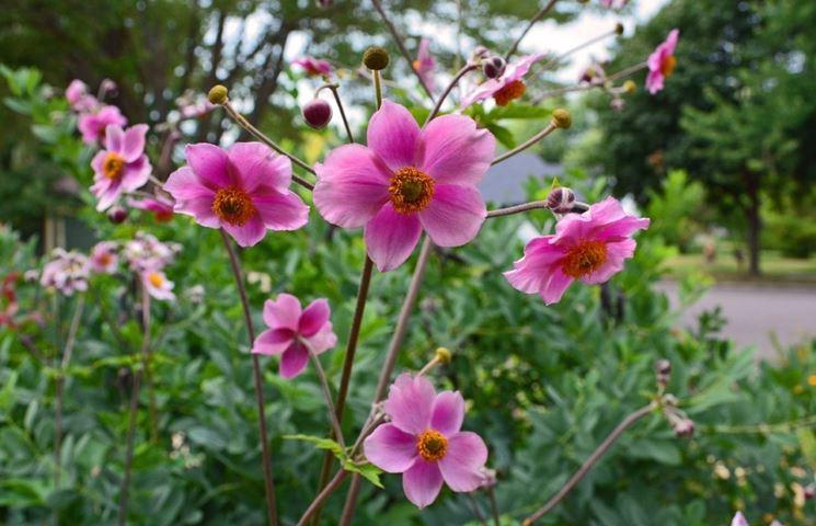 Varietà di anemone giapponese