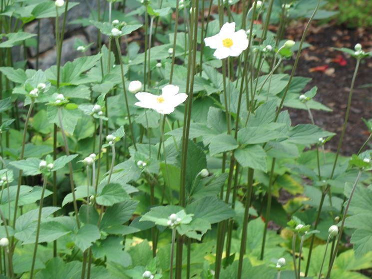 Piante di anemone japonica