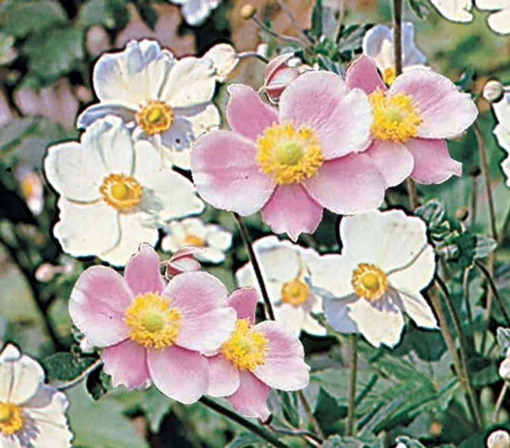 Fiori di anemone japonica