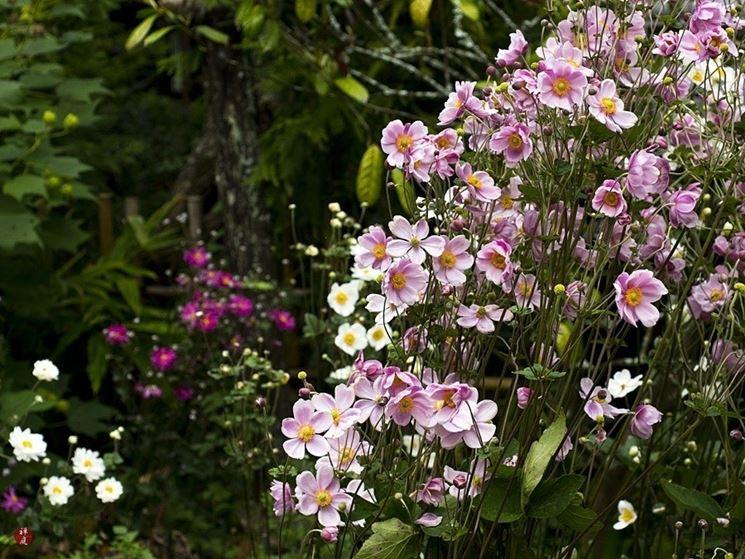 Anemone japonica in fiore
