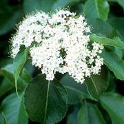 Pianta e fiore di Viburno