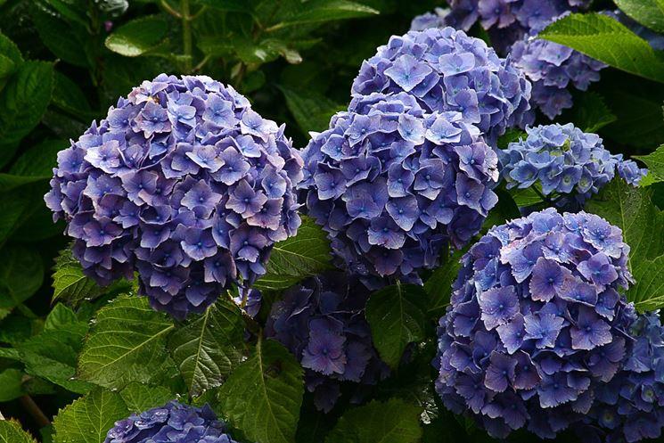 Arbusti perenni piante da giardino conoscere gli for Cespugli fioriti da giardino