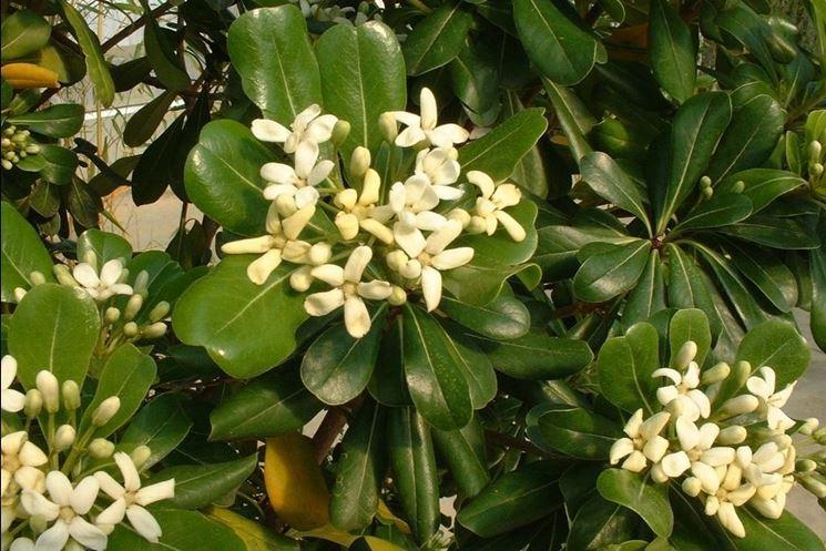 Arbusti perenni piante da giardino conoscere gli for Piante verdi perenni da giardino