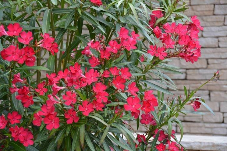 Arbusti perenni piante da giardino conoscere gli - Piante cespugli da giardino ...
