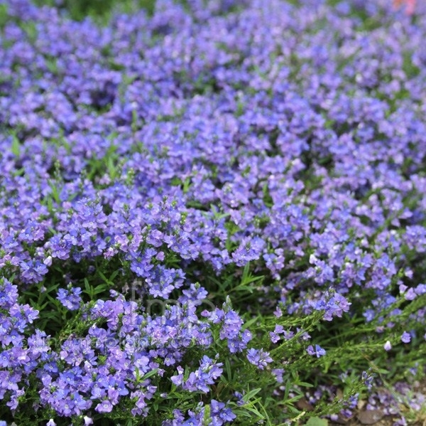 Arbusti sempreverdi piante da giardino caratteristiche for Piante giardino sempreverdi