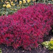 Arbusti sempreverdi piante da giardino caratteristiche for Cespugli fioriti perenni da giardino