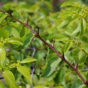 Rami e foglie di Paliurus spina-christi