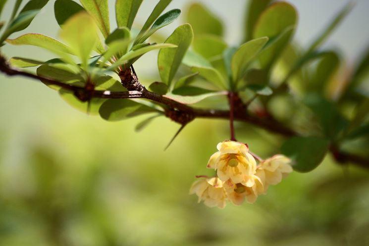 Fiori della pianta di Berberis
