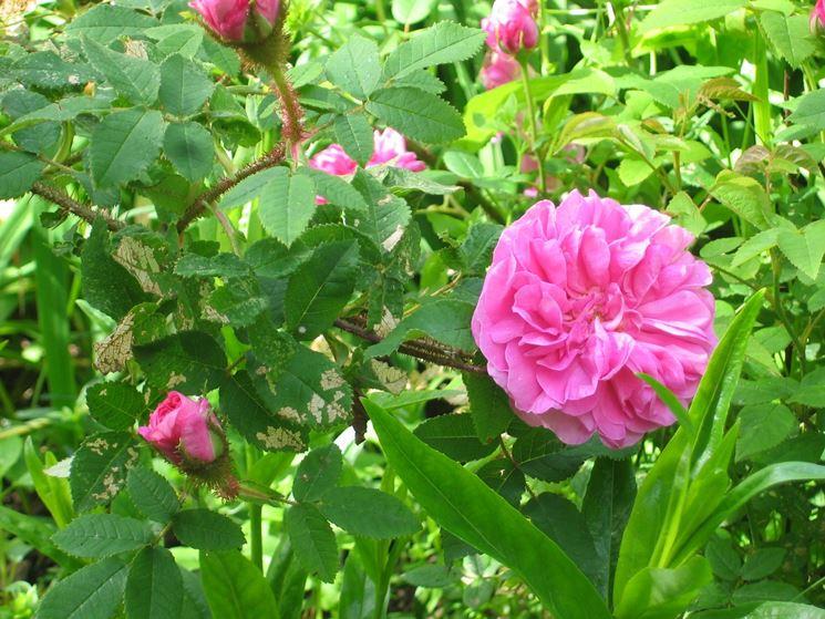 Fiori e foglie di Rosa centifolia