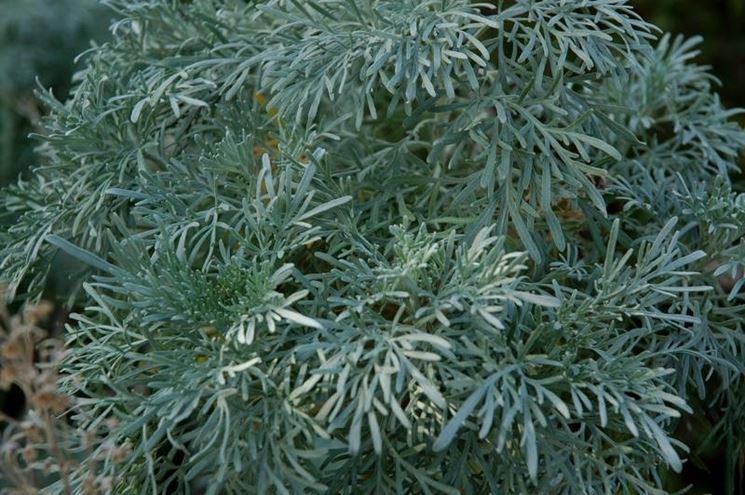 Foglie di artemisia arborescens