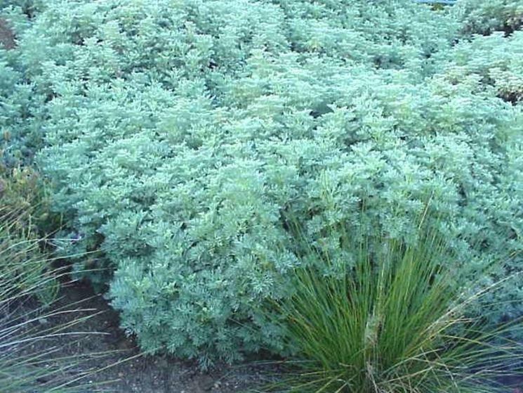 Una pianta molto sviluppata di artemisia arborescens