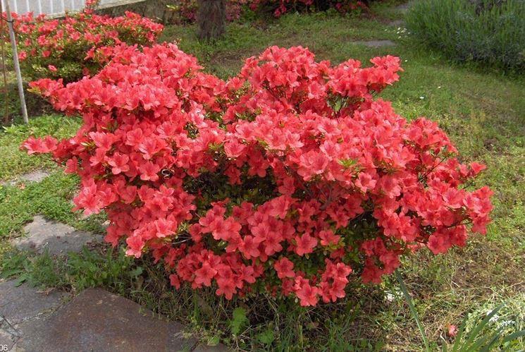 Azalea coltivazione piante da giardino consigli per - Azalea foglie ...