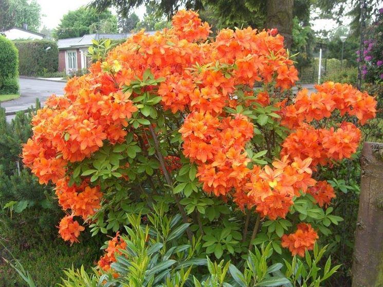 Azalea arancione