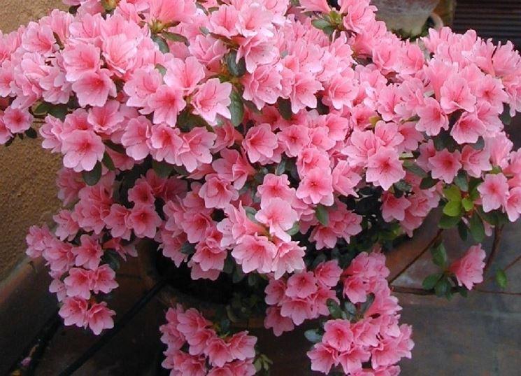 Una grande pianta di azalea coltivata in vaso