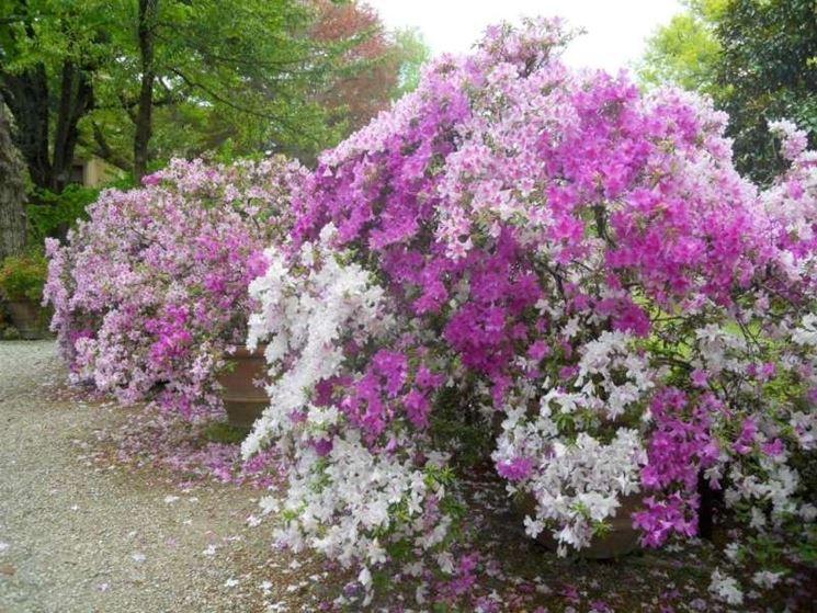 Un bellissima composizione di azalee di vari colori che adorna un giardino